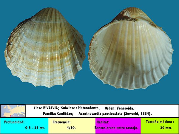 Acanthocardia paucicostata (Sowerby, 1834)